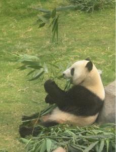seeing a Panda in person